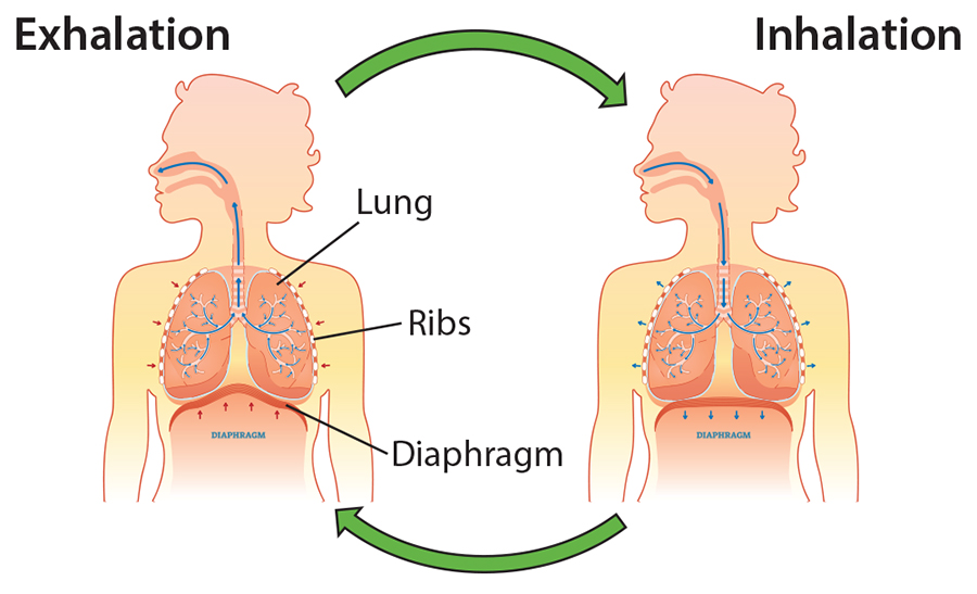 diagram of lungs inhalation and exhalation